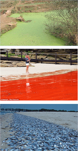 Algal blooms and fish kills.