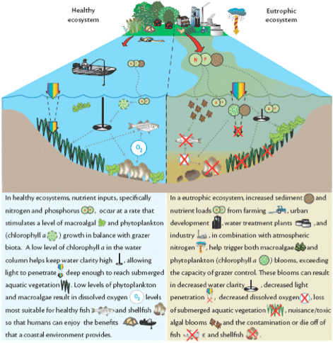 Conceptual diagram showing the impacts of eutrophication.