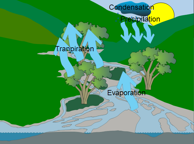 Transpiration Water Cycle Caitlin Water Cycle